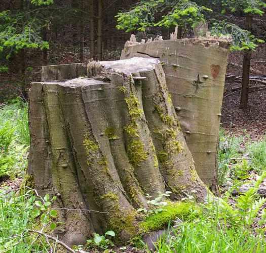 gefaellter Baum