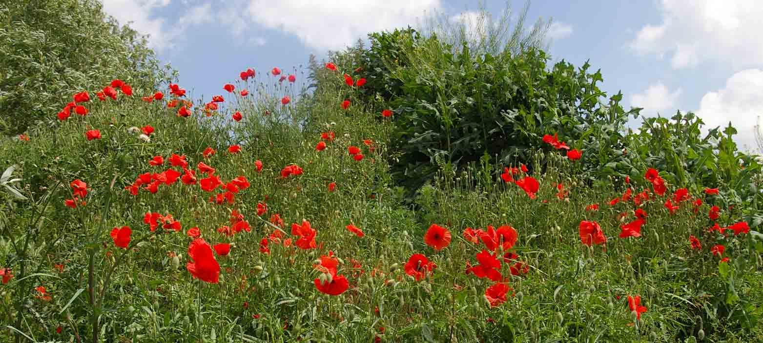 viele rote Mohnblumen