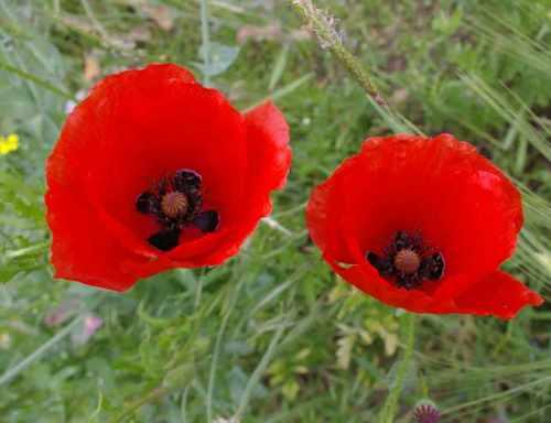 zwei rote Mohnblumen
