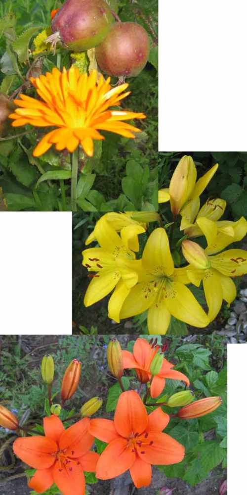 Gartenblumen Ringelblume Lilien