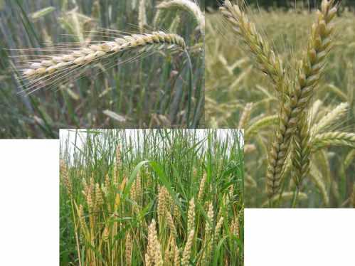Aehren Getreide