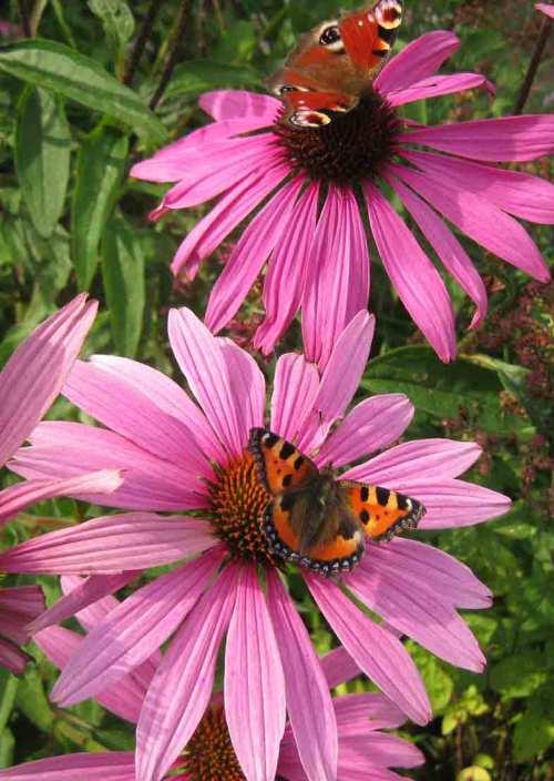 zwei-Schmetterlinge
