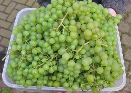 Weintraubenernte
