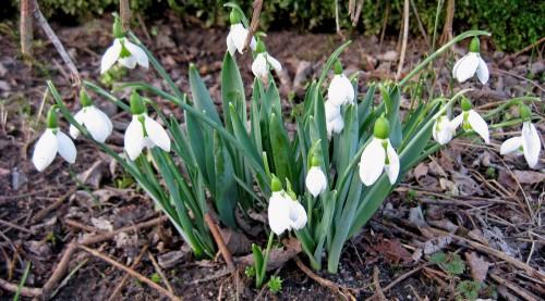 Schneegloeckchen im Garten