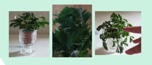 kleine Pflanze Mimose