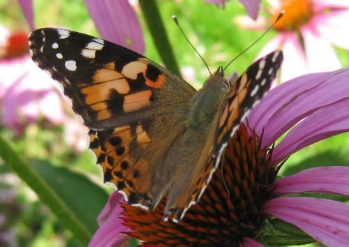Schmetterling brauner Falter