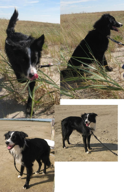Border Collie im Watt