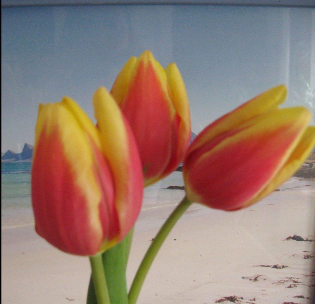 Tulpen fotografie