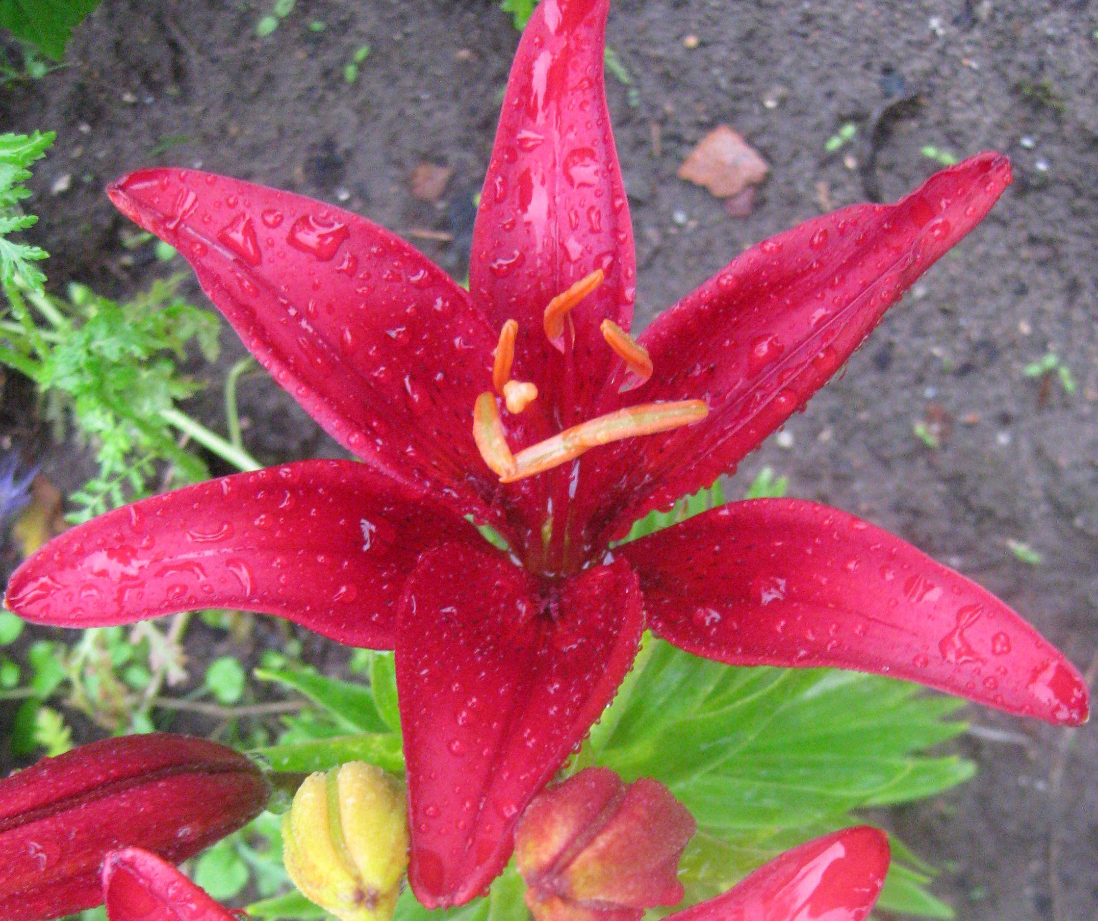 Rote Lilien im Regen
