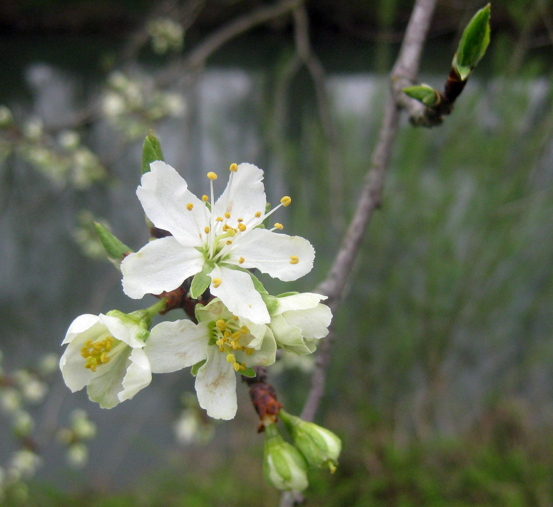 Apfelbaum Blüte, Frühlingsblüte, weiße Blüte