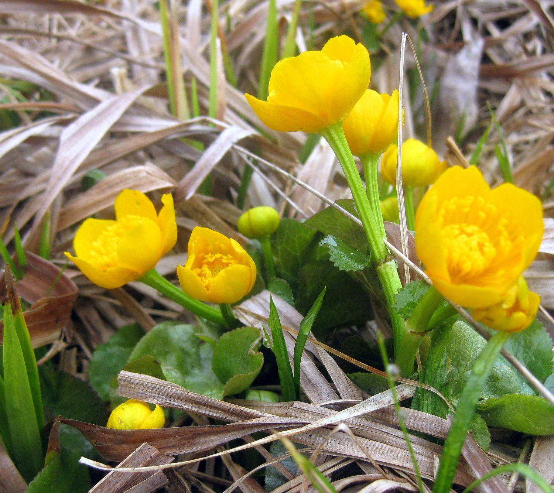 Sumpfdotterblumen auf der Wiese, gelbe Wiesenblumen, Frühlingsblume