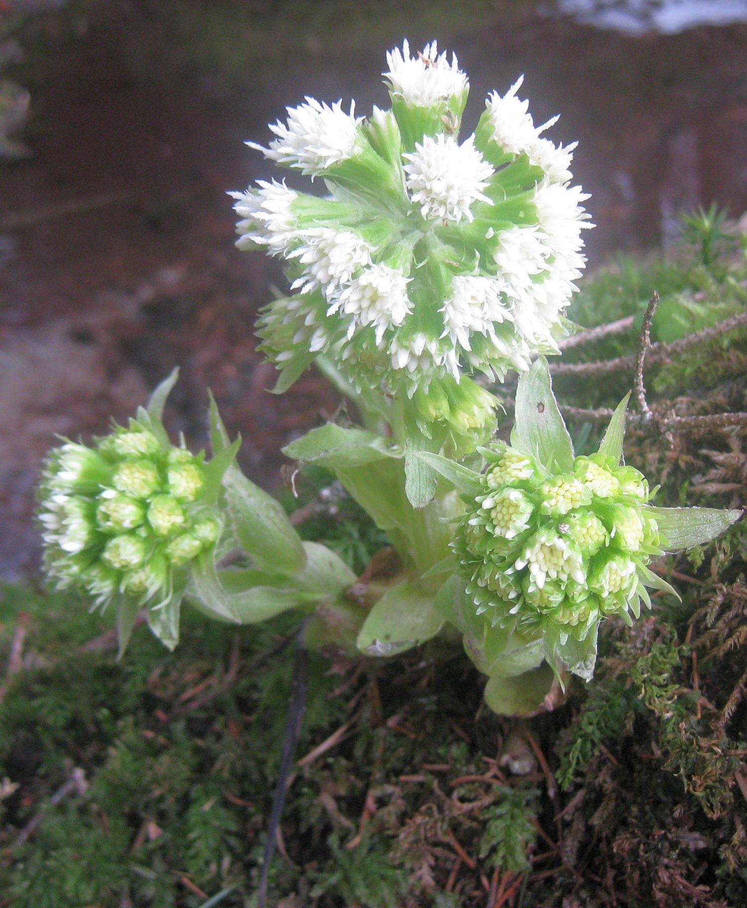 Waldpflanze im Bayrischen Wald, Natur, Frühlingsblume
