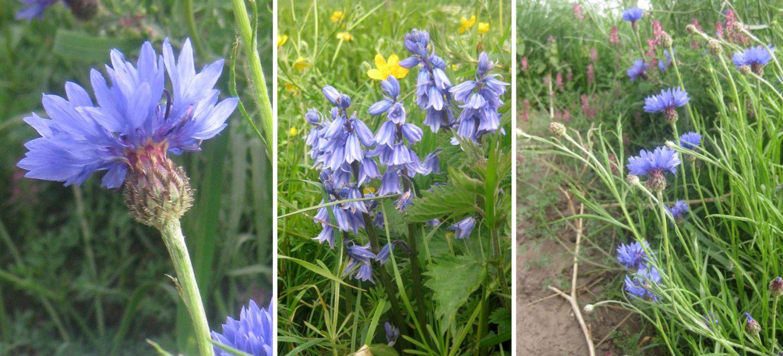 blaue Wiesenblumen, Hasenglöckchen, oder wilde Kornblumen