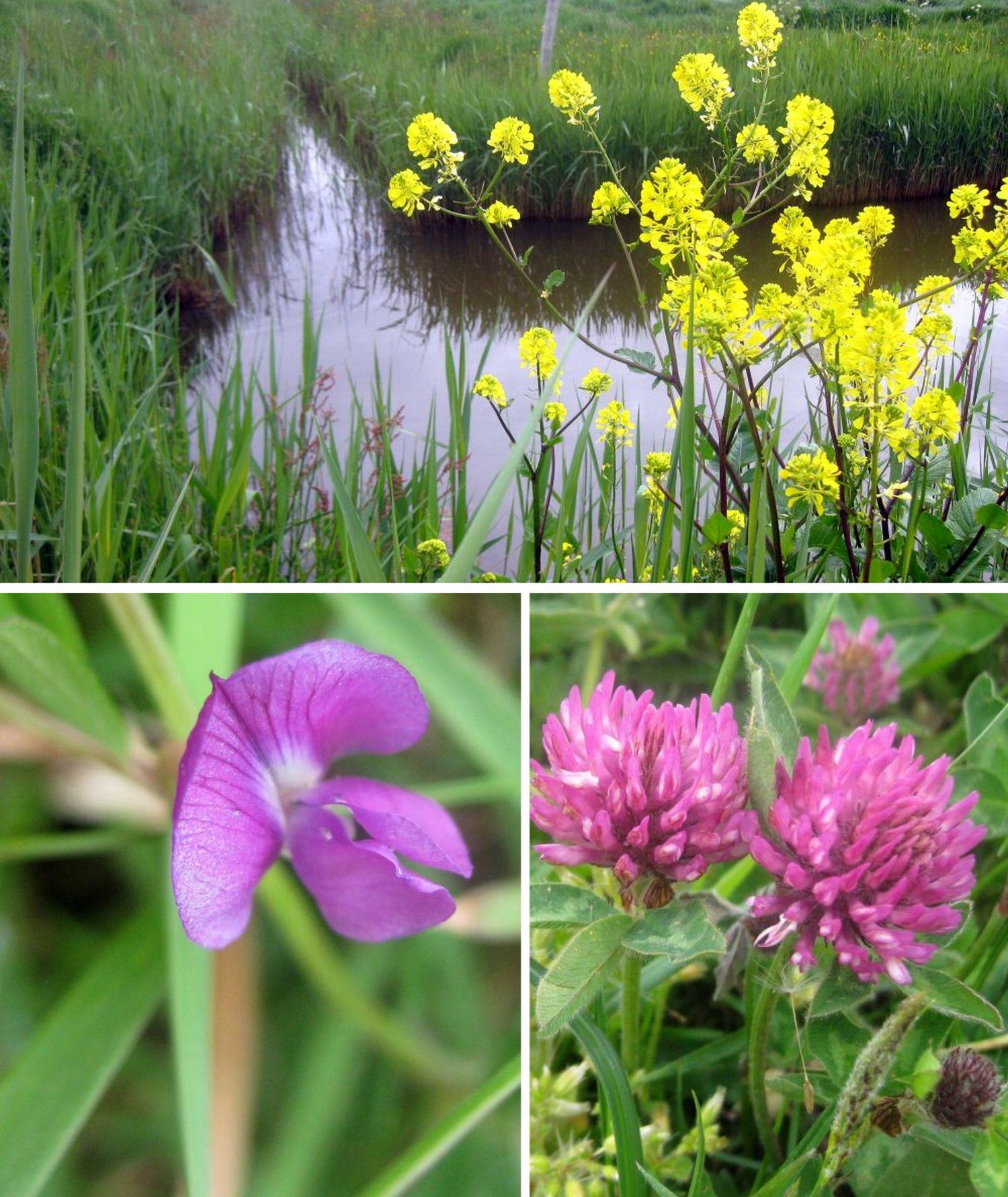 Wiesenblumen zeigen ihre Schönheit: gelber Ackersenf, roter Klee oder wilde Veilchen.