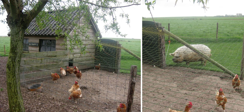 Landleben mit Schwein und Hühner draußen