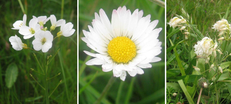 Wiesenblumen in weiß: Gänseblümchen und Lichtnelken.