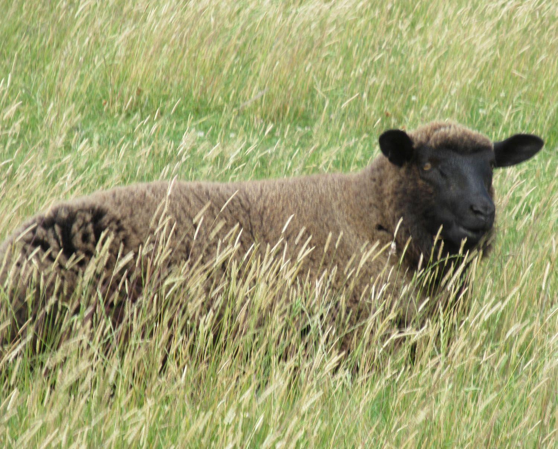 dunkles Schaf im Gras