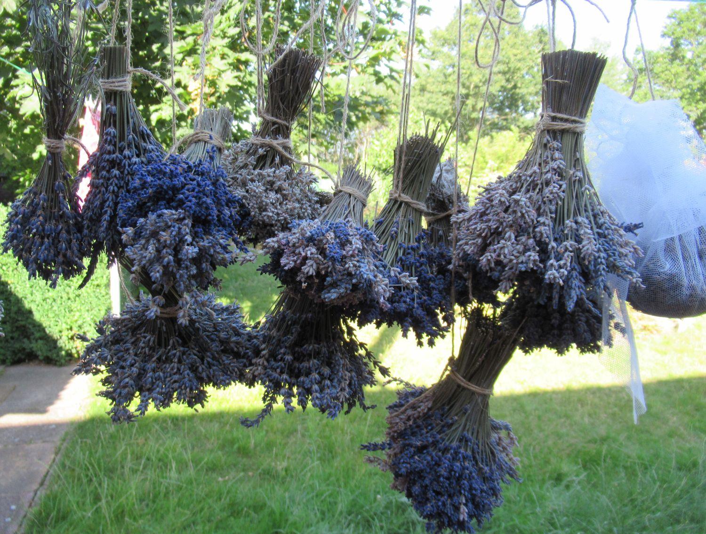 Lavendel hängt zum Trocknen an der Wäscheleine