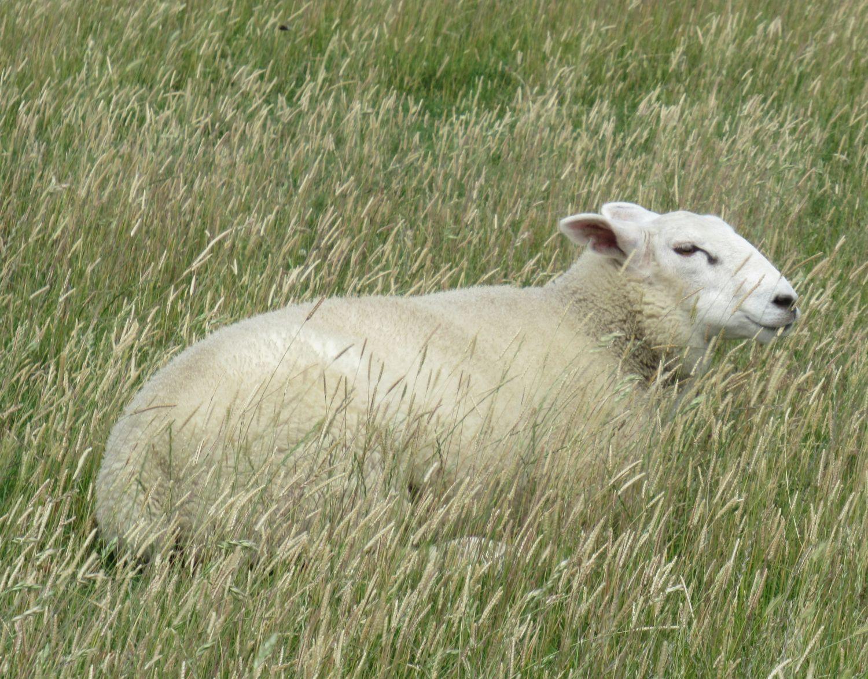 weißes Schaf im Gras