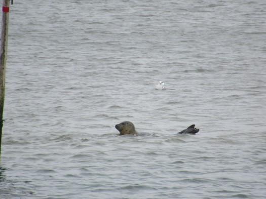 Seehund auf Fanoe